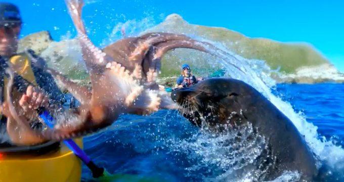 zeehond-kajakker-octopus
